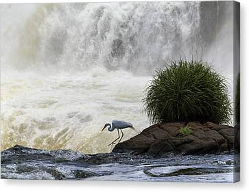 Great Egret At Iguazu Falls Canvas Print by Alfred Pasieka