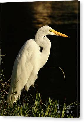 Great Egret At Morning Canvas Print by Robert Frederick