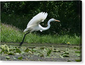 Great Egret Elegance   Canvas Print