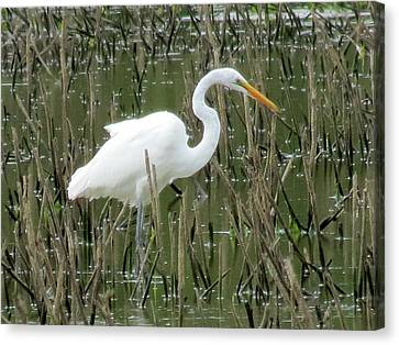 Canvas Print featuring the photograph Great Egret by Eric Switzer