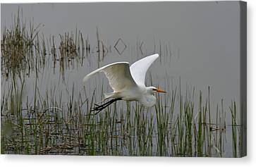 Great Egret Flying Canvas Print by Dan Sproul