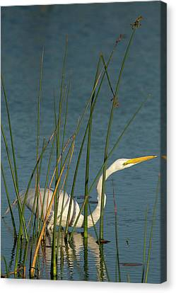 Great Egret Hunting For Its Food Canvas Print by Maresa Pryor