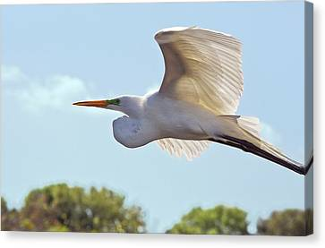 Great Egret In Flight Canvas Print by Bob Gibbons