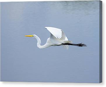 Canvas Print featuring the photograph Great Egret In Flight by John M Bailey