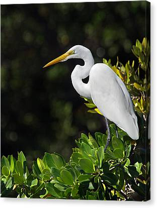 Heron Canvas Print - Great Egret In The Florida Everglades by Mr Bennett Kent