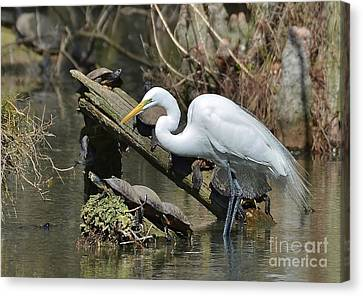 Great Egret In The Swamps Canvas Print by Kathy Baccari
