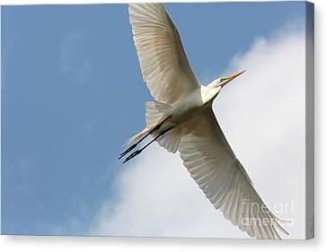 Great Egret Overhead Canvas Print by Carol Groenen