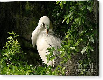 Great Egret Preen Canvas Print by Jennifer Zelik