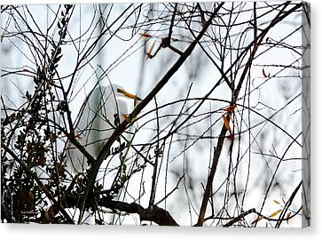 Great Egret Roosting In Winter Canvas Print