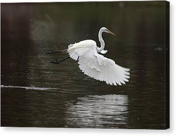 Great Egret Takeoff Canvas Print by Gary Langley