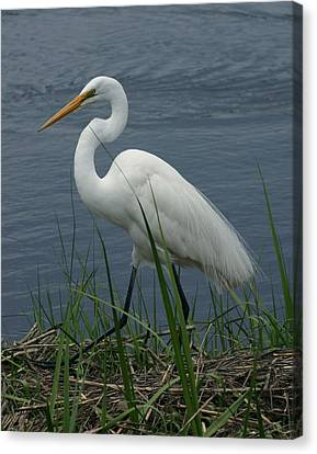 Great Egret Walking 11x14 Canvas Print