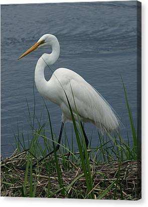 Great Egret Walking 8x10 Canvas Print