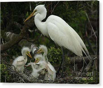 Great Egret With Young Canvas Print by Bob Christopher