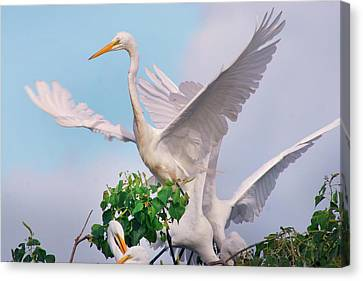 Great White Heron Canvas Print - Great Egrets Parents And Young (ardea by Tim Fitzharris