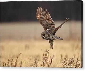 Great Gray Owl Liftoff Canvas Print by Daniel Behm
