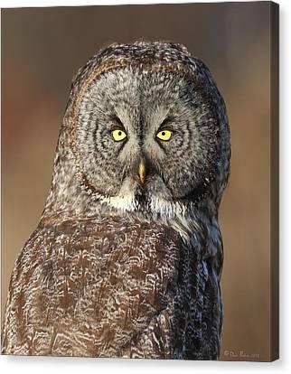 Great Gray Owl Portrait Canvas Print by Daniel Behm