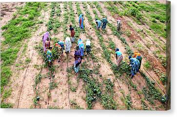 Senegal Canvas Print - Great Green Wall Farming by Thierry Berrod, Mona Lisa Production