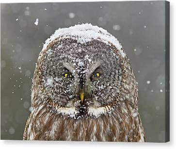 Anger Canvas Print - Great Grey Owl Winter Portrait by Mircea Costina