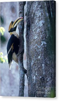 Hornbill Canvas Print - Great Hornbill by Art Wolfe