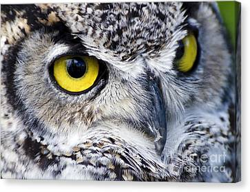 Great Horned Closeup Canvas Print by Dee Cresswell