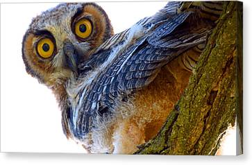 Great Horned Owl Canvas Print by Catherine Natalia  Roche