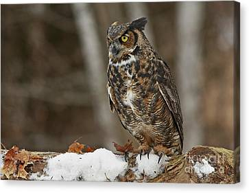 Great Horned Owl In A Snowy Winter Forest Canvas Print by Inspired Nature Photography Fine Art Photography