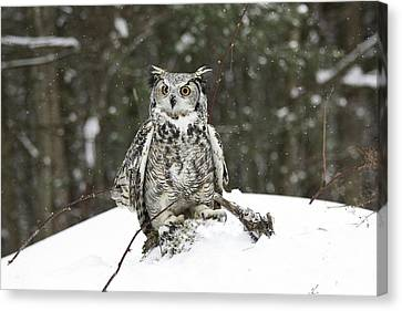 Great Horned Owl In A Winter Snow Storm Canvas Print by Inspired Nature Photography Fine Art Photography