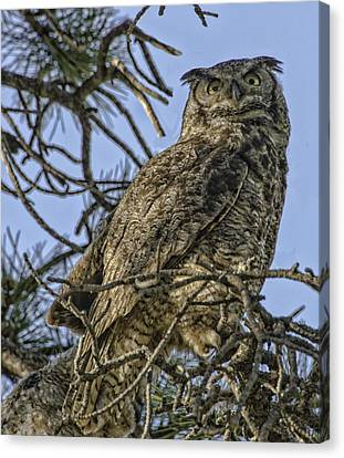 Great Horned Owl Canvas Print by Tom Wilbert