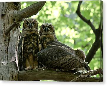 Great Horned Owls Canvas Print by Cheryl Baxter