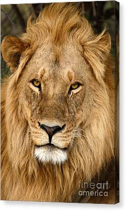 Great Mane Relaxed Lion Canvas Print