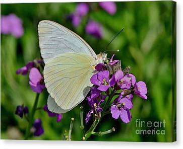 Great Southern White Butterfly Canvas Print by Kathy Baccari