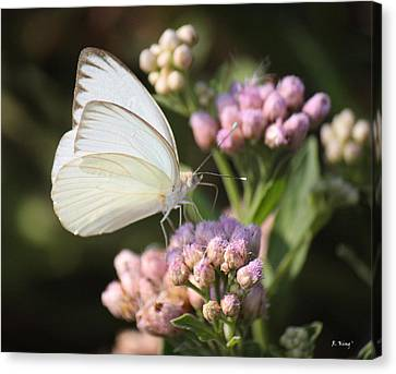 Great Southern White Butterfly On Pink Flowers Canvas Print