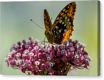 Hales Corners Canvas Print - Great Spangled Fritillary by Randy Scherkenbach