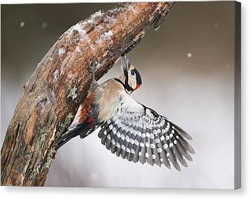 Great Spotted Woodpecker Male Sweden Canvas Print