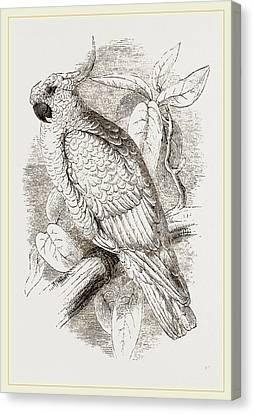 Great Sulphur-crested Cockatoo Canvas Print