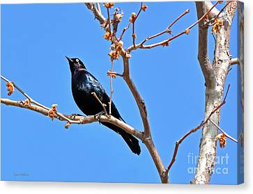 Great-tailed Grackle On A Sunny Spring Day Canvas Print