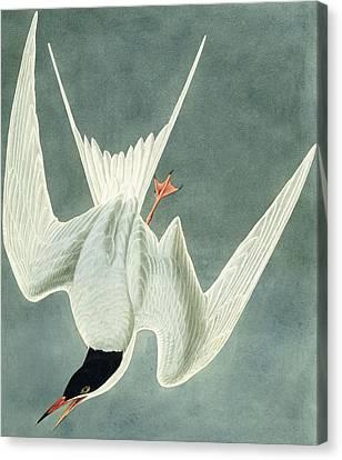 Swoop Canvas Print - Great Turn by John James Audubon