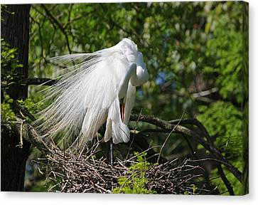 Waterscape Canvas Print - Great White Egret - Afternoon Grooming Iv by Suzanne Gaff