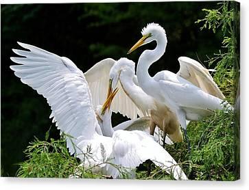 Great White Egret Feeding Time Canvas Print by Paulette Thomas