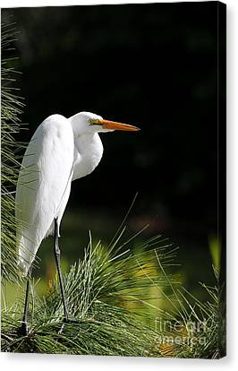 Great White Egret In The Tree Canvas Print by Sabrina L Ryan
