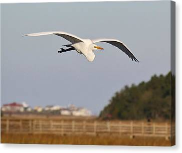 Great White Egret Incoming Canvas Print by Paulette Thomas