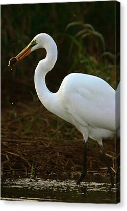 Great White Egret Canvas Print by Mark Russell