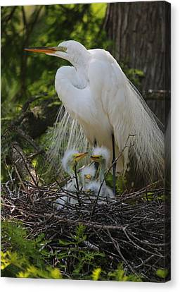 Great White Egret Mom And Chicks Canvas Print by Suzanne Gaff
