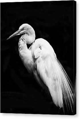 Great White Egret On Black Canvas Print by Bill Tiepelman