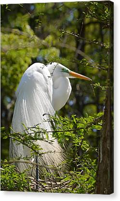 Great White Egret On Nest Canvas Print by Judith Morris