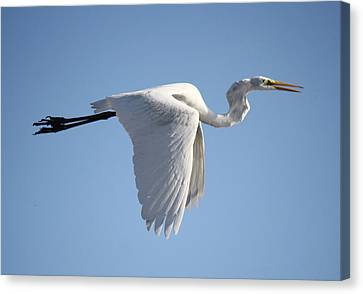 Great White Egret Wings Down Canvas Print by Paulette Thomas