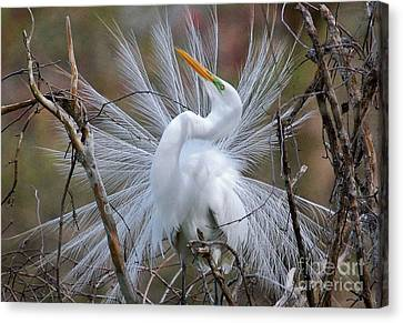 Canvas Print featuring the photograph Great White Egret With Breeding Plumage by Kathy Baccari