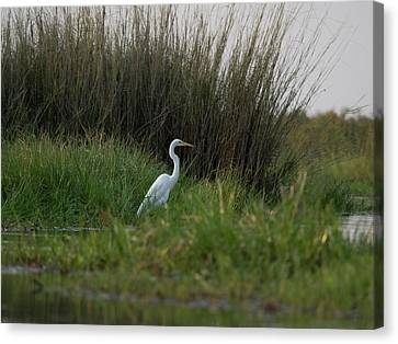 Great White Heron Ardea Alba, Okavango Canvas Print by Panoramic Images