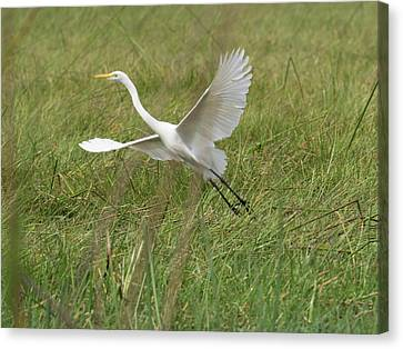Great White Heron Ardea Alba Taking Canvas Print by Panoramic Images