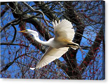 Great White Heron Islip New York Canvas Print